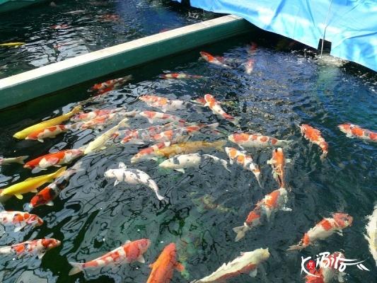 Ogata breeders koibito netherlands nishikigoi importer for Koi breeders near me